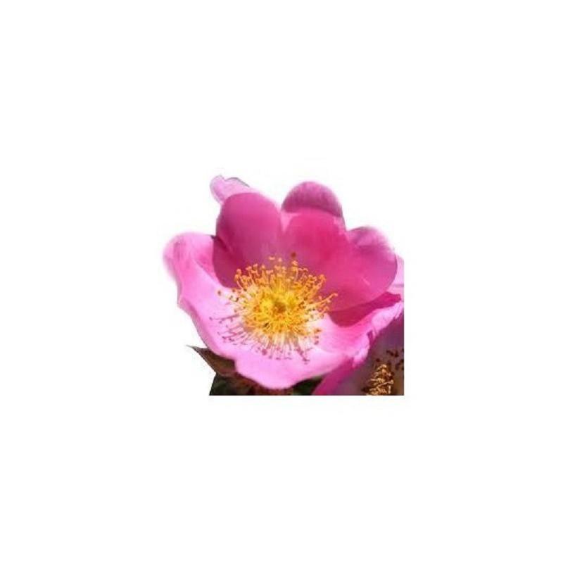 Huile de Rose musquée en cosmétique | Crèmes à la rose | France
