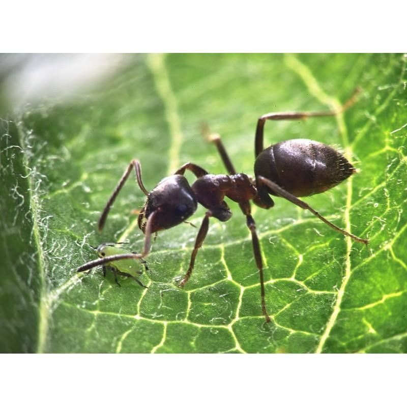 Acheter les produits Gutto à base d'oeufs de fourmis : Solution dépilatoire 100% naturelle